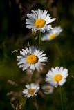 Daisy Quintet