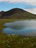 Lakeside Cottongrass