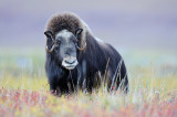 Musk Ox In Fall Color