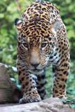 Jaguar 05