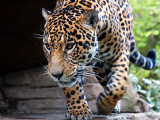 Jaguar 07