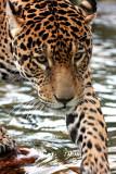 Jaguar 09