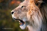 African Lion 04