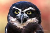 Spectacled Owl 02