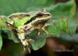 Pacific Treefrog (male)