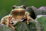Pacific Treefrog (male)  03