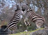 Zebra action!