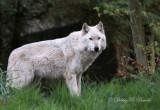 Gray Wolf 02