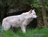 Gray Wolf 03