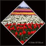 Square Tulip Fields