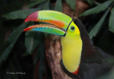 Keel-billed Toucan 04