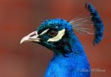 Peacock 02