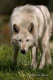 Gray Wolf 04