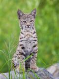 Jr bobcat