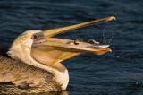 pelicanfish.jpg