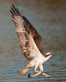 Osprey and fishing lure