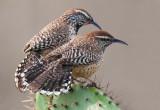 cactuswrens.jpg