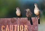 Calilfornia thrashers or the 3 amigos