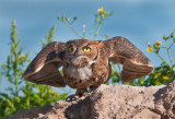Great horned owl launch