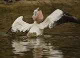 white pelican trying to eat carp