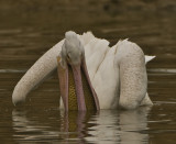white pelican eating carp