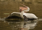 white pelican spent 10 min trying to swallow 4 lb carp.  Finally gave it up, just to big.