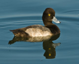 mr scaup(lesser)