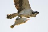 osprey and halibut