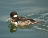 mrs bufflehead