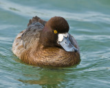mrs scaup(lesser)