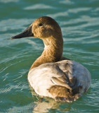 mrs canvasback