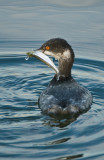 eared grebe and smelt
