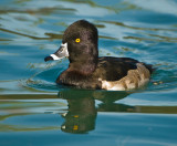 mr ring necked duck