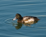 mr  greater scaup I think??