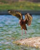 ibis4.jpg