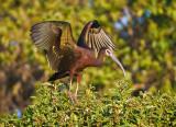 ibis5.jpg
