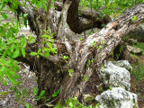 Old  Buttonwood  Tree