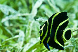 French Angelfish juvenile (Pomacanthus paru)