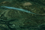 Needlefish (Tylosurus crocodilus)