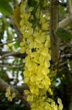 Cassia Fistula or Chuva de ouro tree
