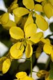 Cassia Fistula or Chuva de ouro flowers