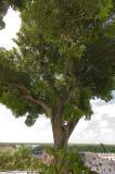 Mango tree in João Pessoa old town