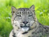 snow_leopards