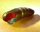 Blinded Sphinx pupa case