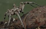 Nova espécie de tarântula para Portugal _Lycosa ambigua