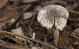 Leucoagaricus melanotrichus_EM99410.jpg