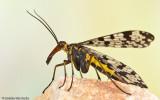 Panorpa meridionalis