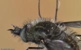 Conophorus Sp.