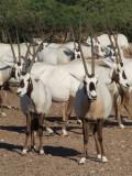 Arabian Oryx Sir Bani Yas Island Abu DHabi 5.jpg