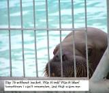 sad-walrus